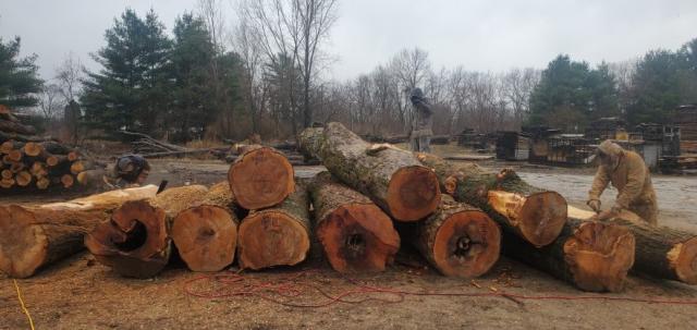 peeling trees